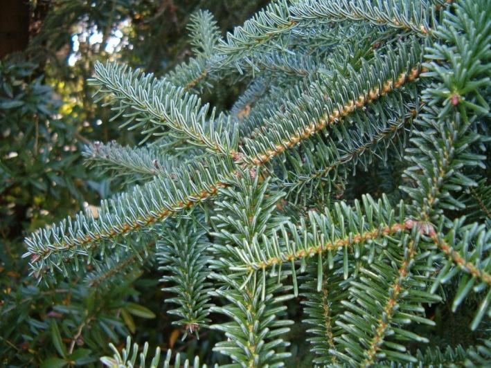 Karácsonyfa – Fenyőfa